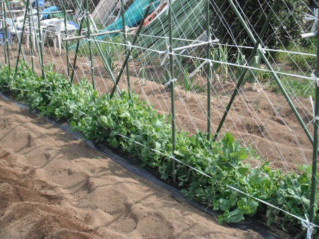 それぞれの畝作り・・発芽・・・新しい生命の誕生_c0222448_1159370.jpg