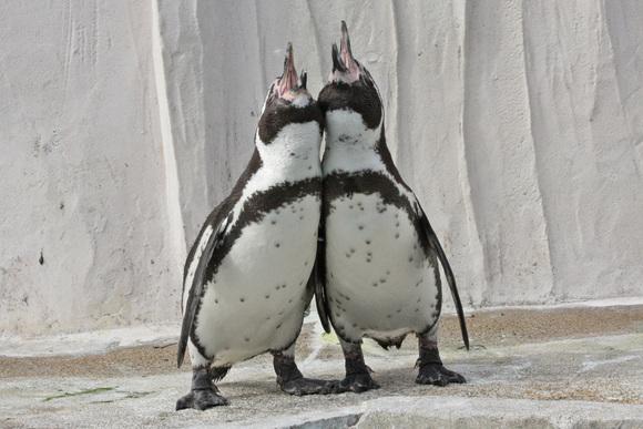 ペンギン大合唱♪_d0227252_17355217.jpg