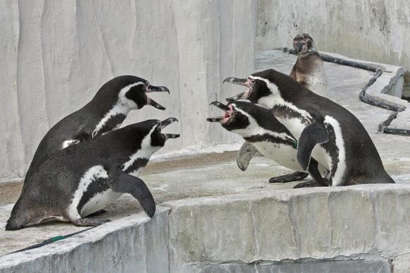 ペンギン大合唱♪_d0227252_17392227.jpg