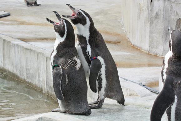 ペンギン大合唱♪_d0227252_17421413.jpg