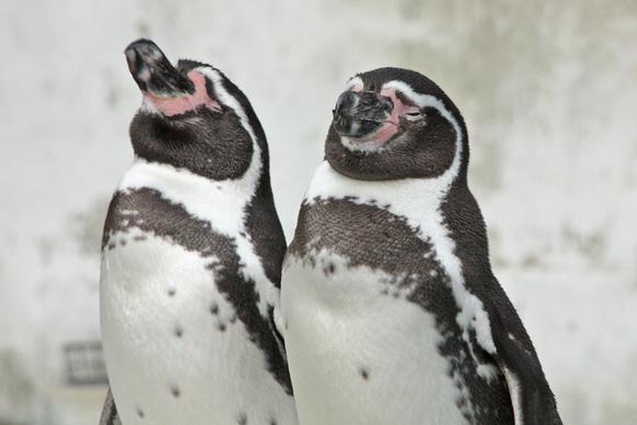 ペンギン大合唱♪_d0227252_17454286.jpg