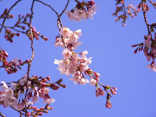 さくら・・・それでも春がきました_e0114895_17191694.jpg