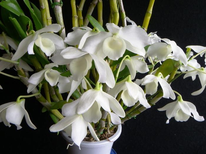 Den.nobile f.alba _d0007501_22574991.jpg