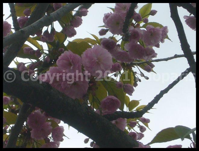 【サクラSAKURA】3月31日ノートルダム界隈(PARIS)_a0008105_2333113.jpg