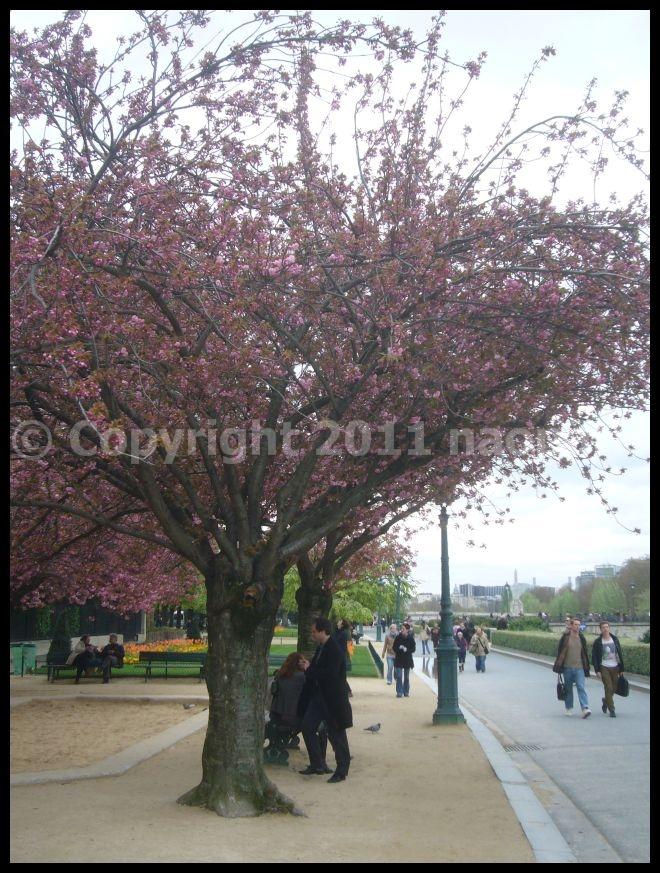 【サクラSAKURA】3月31日ノートルダム界隈(PARIS)_a0008105_23362429.jpg