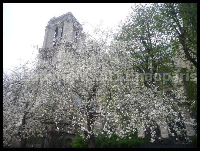 【サクラSAKURA】3月31日ノートルダム界隈(PARIS)_a0008105_23364518.jpg