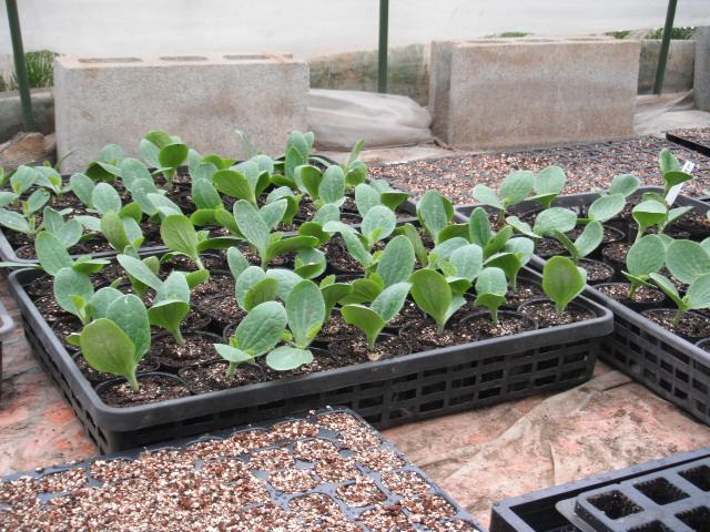 今朝はズッキーニの鉢上げと蔓なし隠元豆の定植です_c0222448_12492384.jpg