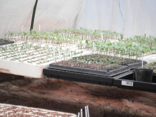 今朝はズッキーニの鉢上げと蔓なし隠元豆の定植です_c0222448_12492922.jpg