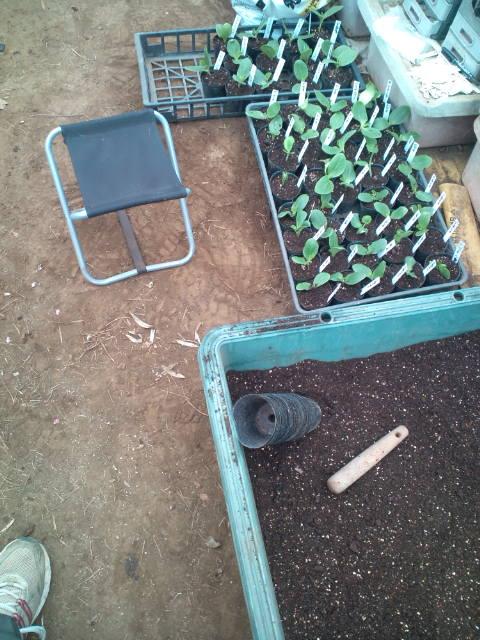 今朝はズッキーニの鉢上げと蔓なし隠元豆の定植です_c0222448_1952711.jpg