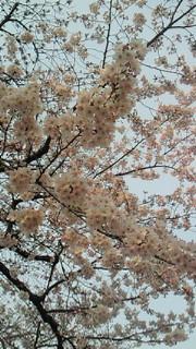 桜が咲いた♡_b0105458_15212569.jpg