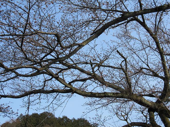 2011年4月3日 桜実況中継_c0078659_17335597.jpg