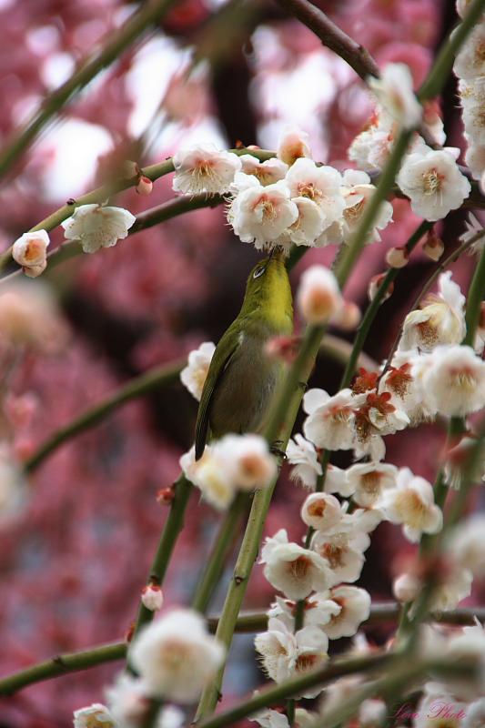 枝垂れ梅が美しい結城神社(3月9日)_a0116472_18103717.jpg