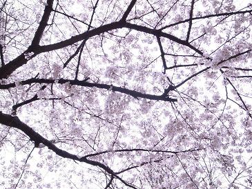 桜とアンパン_f0202682_1613679.jpg