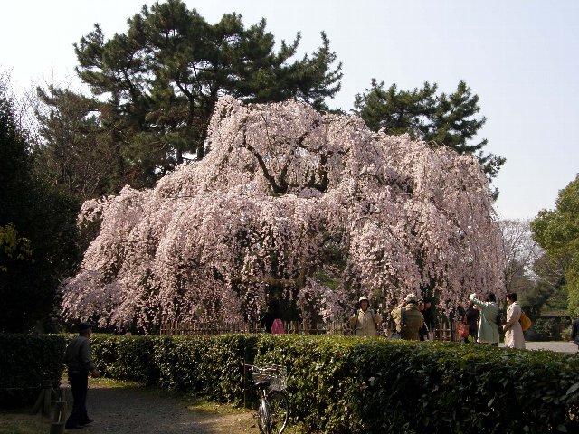 早咲きの枝垂れがほぼ満開_c0057390_23312351.jpg