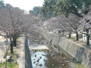 桜情報<アクティブライフ夙川>_c0107602_1211595.jpg