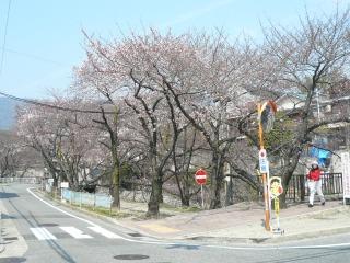 桜情報<アクティブライフ夙川>_c0107602_121386.jpg