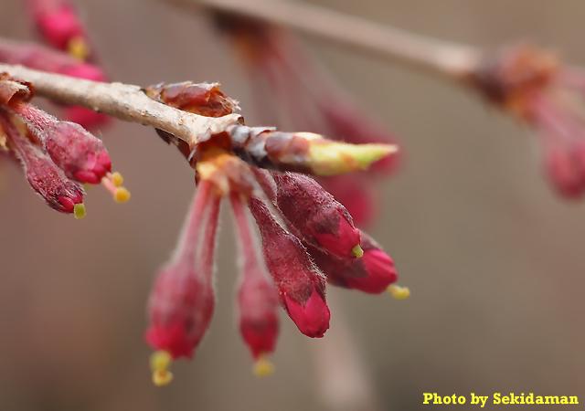 桜の蕾_b0189104_2054206.jpg