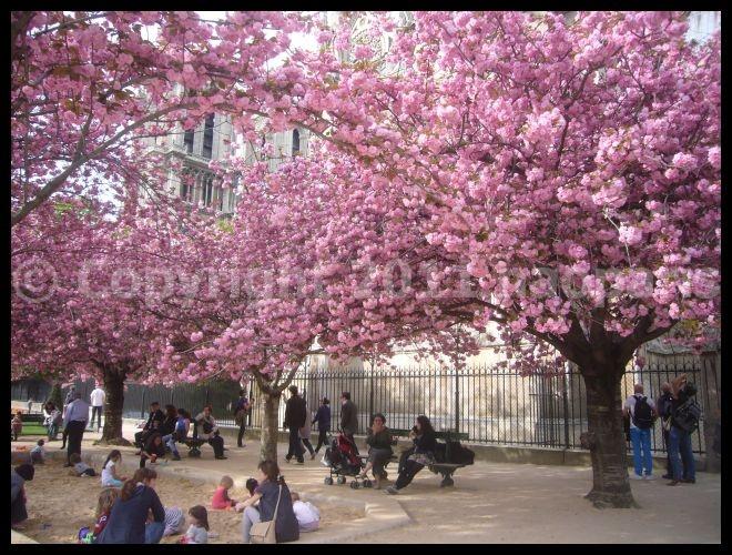 【サクラ】ノートルダム界隈4月2日(PARIS)_a0008105_1835467.jpg