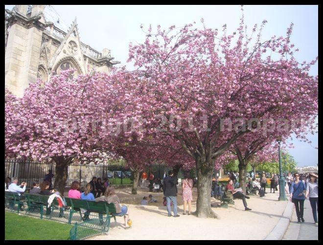 【サクラ】ノートルダム界隈4月2日(PARIS)_a0008105_1842061.jpg