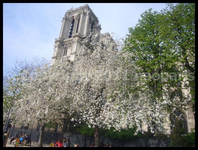 【サクラ】ノートルダム界隈4月2日(PARIS)_a0008105_185133.jpg