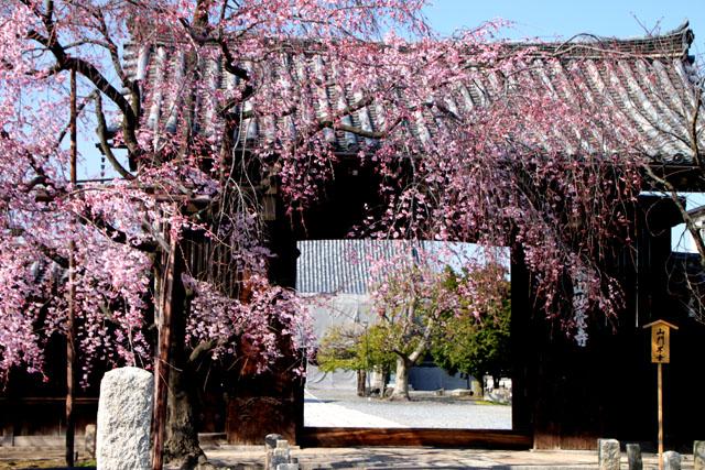 京の花だより 妙覚寺_e0048413_21154636.jpg