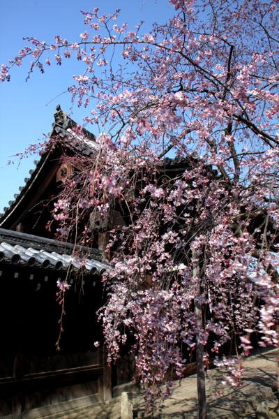 京の花だより 妙覚寺_e0048413_21155787.jpg