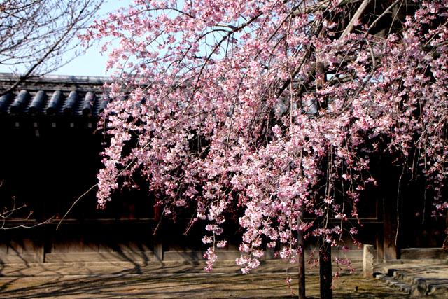 京の花だより 妙覚寺_e0048413_2116944.jpg