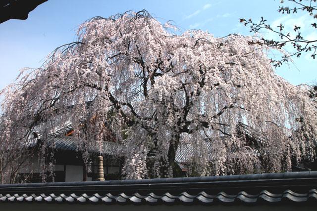 京の花だより 本満寺_e0048413_21433270.jpg