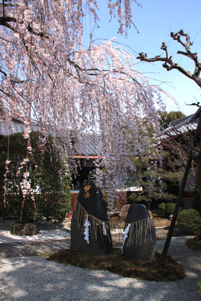京の花だより 本満寺_e0048413_2143566.jpg