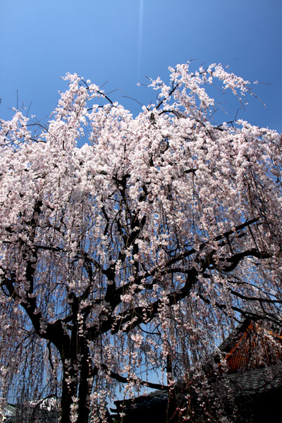 京の花だより 本満寺_e0048413_2144753.jpg