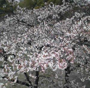 お花見散歩_d0086634_11273878.jpg