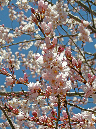 4月4日 交通公園のコヒガンザクラ_a0001354_17533098.jpg