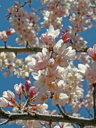 4月4日 交通公園のコヒガンザクラ_a0001354_17534913.jpg