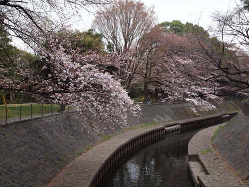 和田堀公園の桜_e0232277_9411188.jpg
