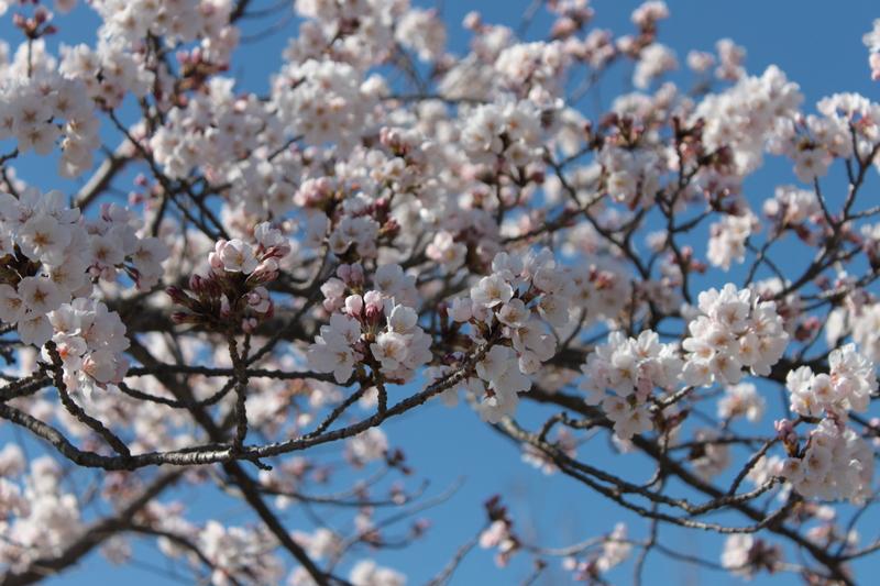 円山公園・SAKURA_d0217090_22501270.jpg