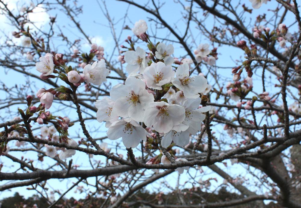 東金・八鶴湖のさくら_b0114798_21422759.jpg