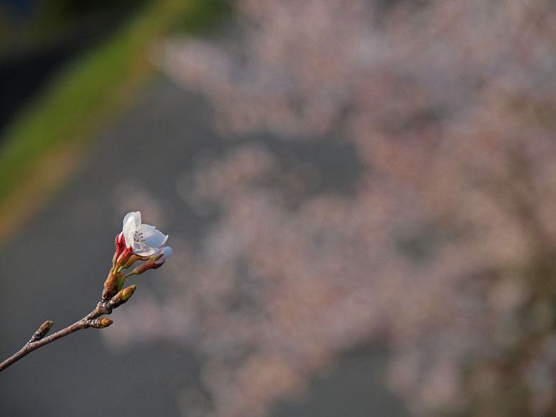 桜咲く_c0211429_20222413.jpg