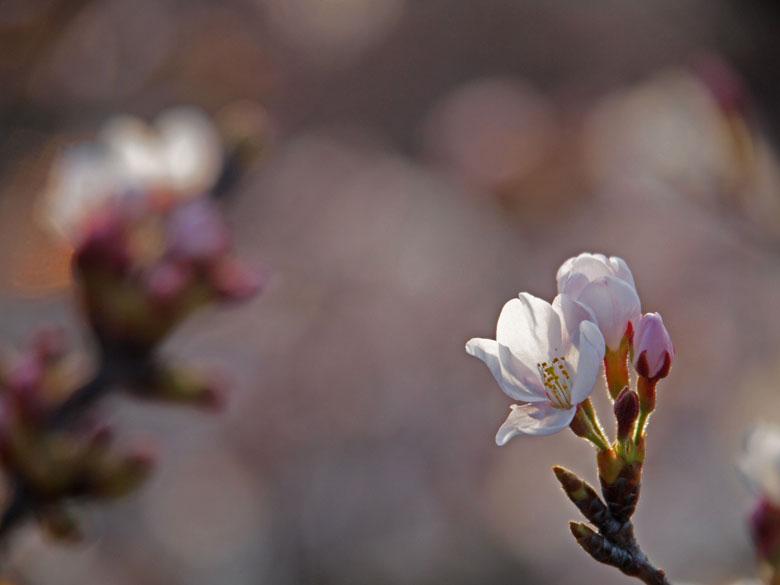 桜咲く_c0211429_20222884.jpg