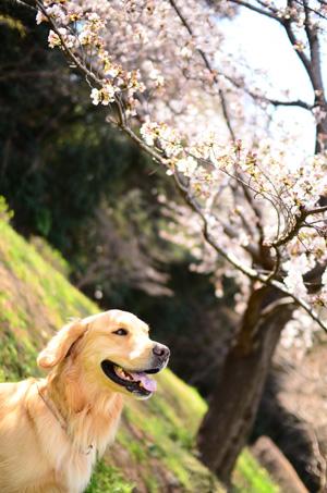 今年の桜さん♪_f0044853_010303.jpg