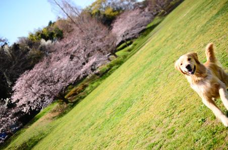 今年の桜さん♪_f0044853_0182059.jpg