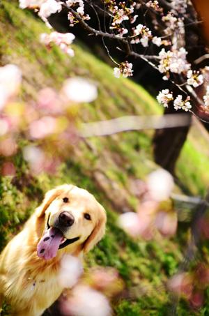 今年の桜さん♪_f0044853_0184295.jpg