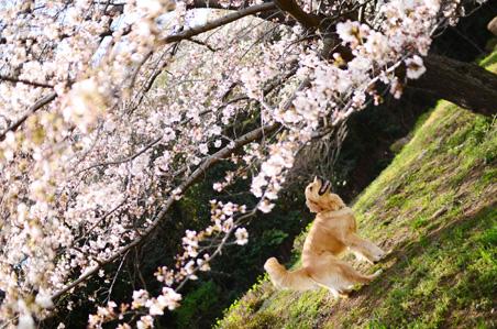 今年の桜さん♪_f0044853_065079.jpg