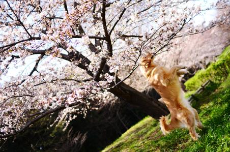 今年の桜さん♪_f0044853_072933.jpg