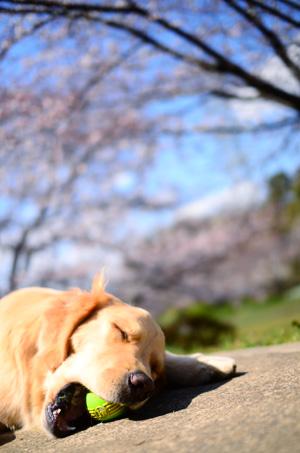 今年の桜さん♪_f0044853_084226.jpg