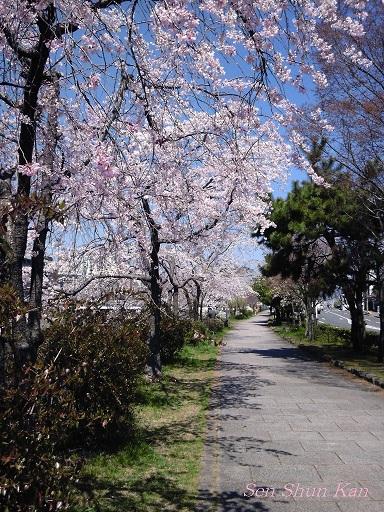 賀茂川の桜_a0164068_2348781.jpg