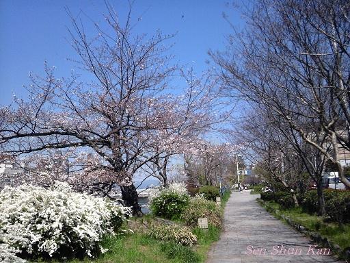 賀茂川の桜_a0164068_23515396.jpg