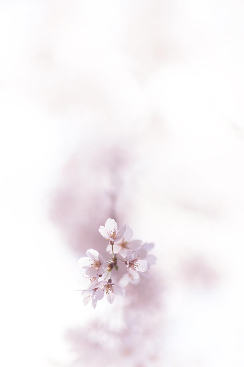 桜 2011  _f0021869_1141230.jpg