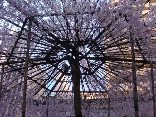桜(その③)_f0201286_16503793.jpg
