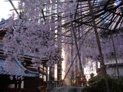 桜(その③)_f0201286_16505096.jpg