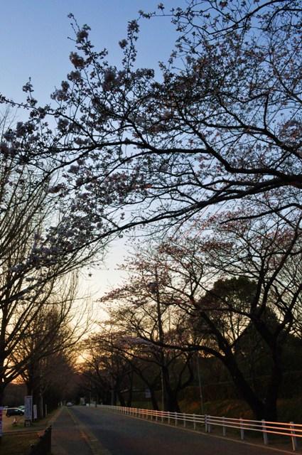 桜はまだかな?_a0126590_23363435.jpg
